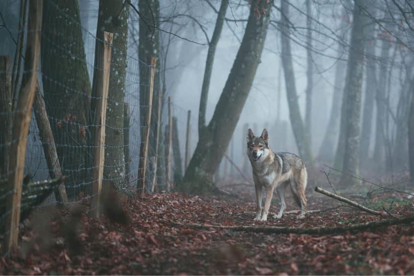 Wolf Hund vor einem Zaun im Wald