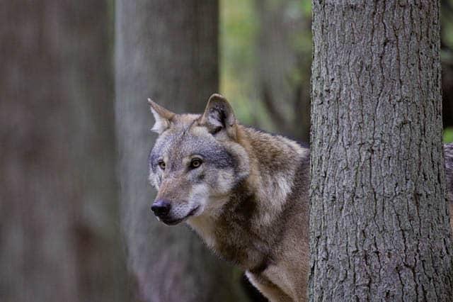 """Featured image for """"Der Wolf ist zurück in der Region Hannover"""""""